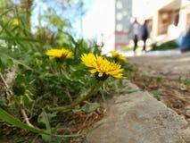 Os dentes-de-leão amarelos estão florescendo no passeio, asfalto, concreto na perspectiva da cidade fotos de stock