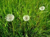 Os dentes-de-leão crescem na grama verde Imagem de Stock Royalty Free
