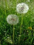 Os dentes-de-leão crescem na grama verde Brilho no sol fotografia de stock royalty free