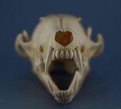 Os dentes do crânio do Fox fecham-se acima Fotografia de Stock Royalty Free