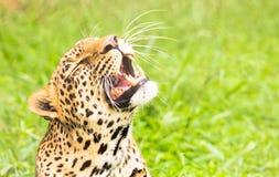 Os dentes do leopardo Foto de Stock