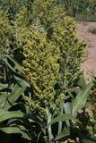 Os detalhes da semente dirigem no sorgo de amadurecimento Fotos de Stock