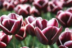 Os detalhes de carmesins coloriram tulipas holandesas para o negócio de exportação no po'lder do nordeste, Países Baixos Imagem de Stock Royalty Free