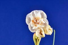 Os detalhes de um narciso florescem Foto de Stock Royalty Free