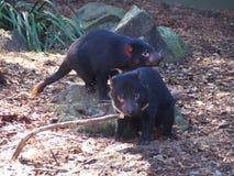 Os diabos tasmanianos estão no perigo da extinção Fotografia de Stock Royalty Free