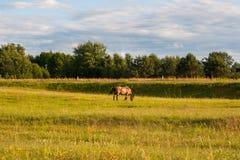 Os dois cavalos na cor marrom que comem gramas no gramado com a ?rvore verde no fundo fotos de stock