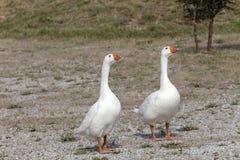 Os dois gansos Fotos de Stock Royalty Free