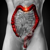 Os dois pontos/grande intestino - anatomia masculina dos órgãos humanos - radiografam a vista Imagem de Stock