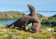 Os dragões de Komodo de combate imagens de stock