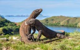 --Os dragões de Komodo de combate fotos de stock