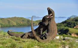 Os dragões de Komodo de combate foto de stock royalty free