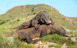 --Os dragões de Komodo de combate imagens de stock