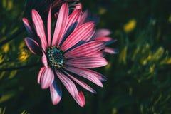 Os ecklonis cor-de-rosa do osteospermum florescem foto de stock royalty free