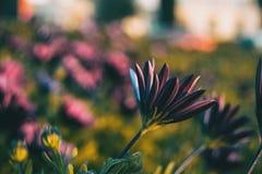 Os ecklonis cor-de-rosa do osteospermum florescem fotografia de stock royalty free