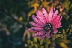 Os ecklonis cor-de-rosa do osteospermum florescem foto de stock