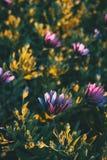 Os ecklonis cor-de-rosa do osteospermum florescem imagens de stock
