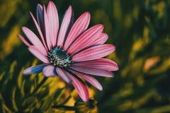 Os ecklonis cor-de-rosa do osteospermum florescem fotos de stock