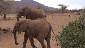 Os elefantes adultos africanos do rebanho atravessam a reserva árida de Samburu da terra de Brown video estoque