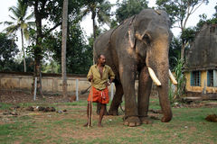 Os elefantes do templo são acompanhados por seus mahouts foto de stock