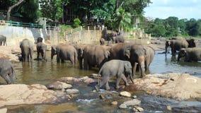 Os elefantes estão indo ao banho no pinnawala Srilnka fotografia de stock