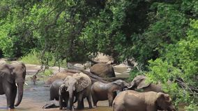 Os elefantes jogam e socializam pelo rio, bebês que rolam na água filme