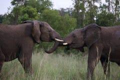 Os elefantes masculinos adolescentes jogam a luta no parque nacional de Hwage, Zimbabwe, elefante, presas, alojamento do olho do  foto de stock royalty free