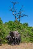 Os elefantes no rio Okavango Fotografia de Stock Royalty Free