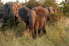 Os elefantes no Sabi lixam a reserva confidencial do jogo Imagem de Stock Royalty Free