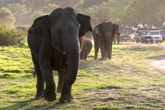 Os elefantes pastam no final da tarde no parque nacional de Minneriya fotos de stock