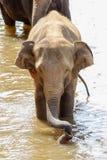 Os elefantes são de banho e de lavagem no rio Imagem de Stock