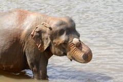 Os elefantes são de banho e de lavagem no rio Foto de Stock Royalty Free