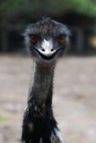 Emu Fotos de Stock