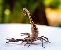 Os escorpião gigantes da floresta do bebê prepararam-se à luta e protegeram-se quando aproximação do fotógrafo para disparar Imagem de Stock