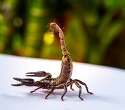 Os escorpião gigantes pequenos da floresta prepararam-se à luta e protegeram-se quando aproximação do fotógrafo para disparar na  Foto de Stock Royalty Free