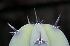 Os espinhos dos cactos fotografia de stock