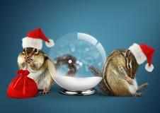Os esquilos engraçados dos animais vestem o chapéu de Santa com bola da neve e ensacam-no, Foto de Stock Royalty Free