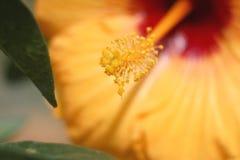 Os estames da flor no pólen amarelo Imagem de Stock
