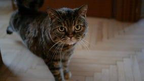 Os estiramentos cinzentos do gato no movimento lento vídeos de arquivo