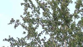 Os estorninhos esconderam de um vento de tempestade na coroa de uma árvore filme