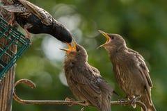 Os estorninhos juvenis que estão sendo alimentados pelo adulto com bocas abrem Imagem de Stock
