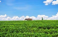 Os fazendeiros araram o platô largo com búfalo Fotografia de Stock
