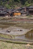 Os fazendeiros chineses aram a terra usando o poder das vacas Fotos de Stock Royalty Free
