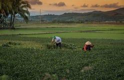 Os fazendeiros colhem as plantações do arroz imagem de stock