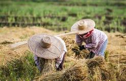 Os fazendeiros com o chapéu de palha que trabalha durante o arroz colhem Fotos de Stock Royalty Free
