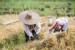 Os fazendeiros com o chapéu de palha que trabalha durante o arroz colhem Imagens de Stock Royalty Free