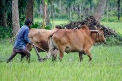 os fazendeiros da estão cultivando a terra com vacas imagens de stock