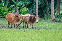 os fazendeiros da estão cultivando a terra com vacas foto de stock