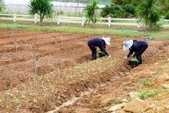 Os fazendeiros das mulheres estão plantando a alface Foto de Stock Royalty Free