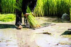 Os fazendeiros do arroz do fazendeiro crescem o arroz, arado imagem de stock