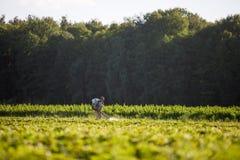 Os fazendeiros empregados trabalhador estão indo pulverizar herbicidas em campos de almofada em um amanhecer da área rural foto de stock royalty free